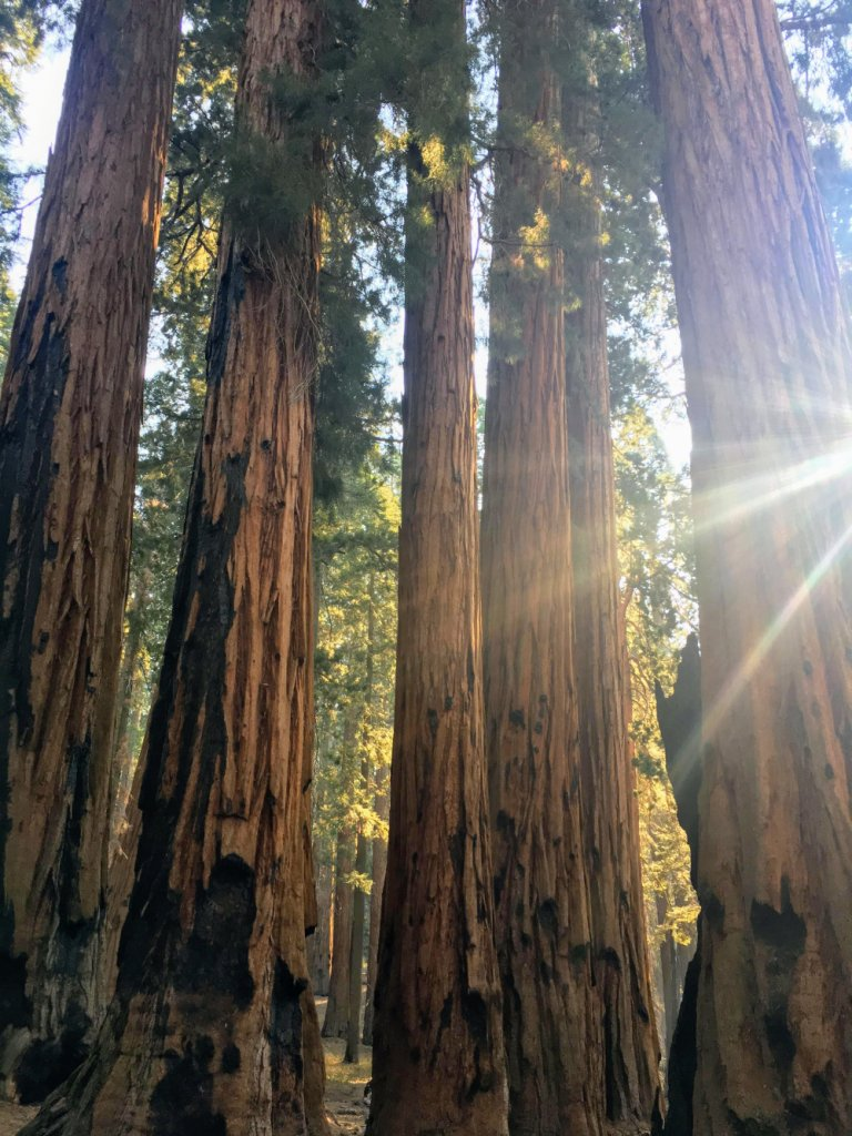 Sequoias in the Sequoia National Park